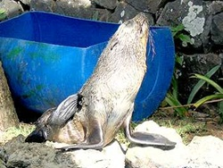 Endangered%20baby%20seal%20saved%20by%20SGP-funded%20NGO%20in%20Mauritius%20BD-1.jpg