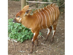 Conservation of the Endangered Mountain Bongo Antelopes in Mt. Kenya-BD-1
