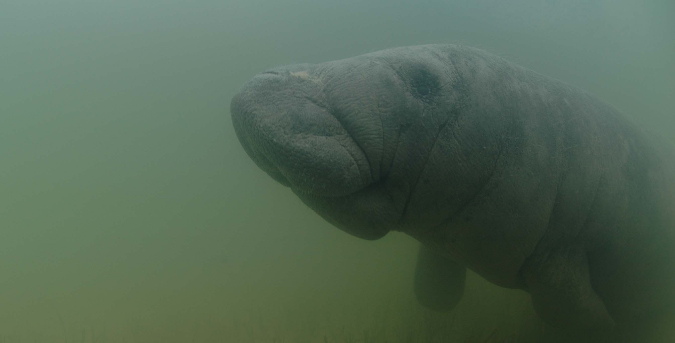 Manatee. Photocredit.A  Hagan   Wildtracks horizontal edits