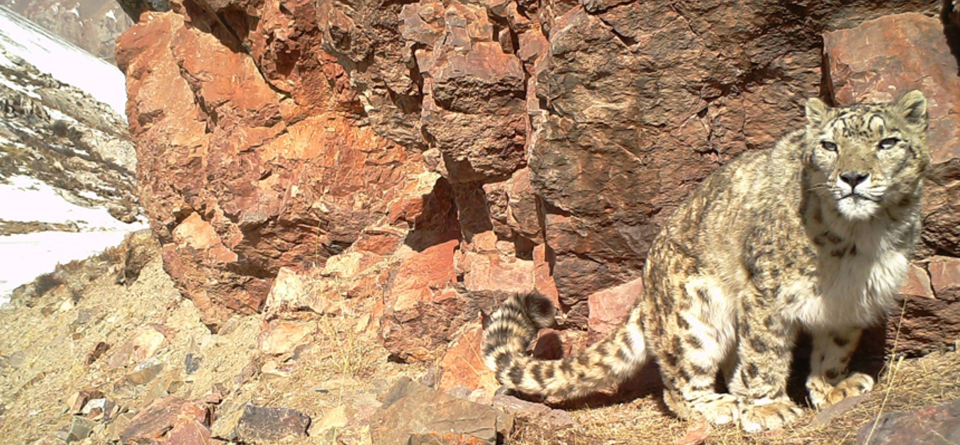 Snow leopard   GSLF small