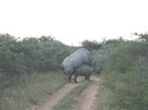 Black Rhino at Khama Rhino Sanctuary
