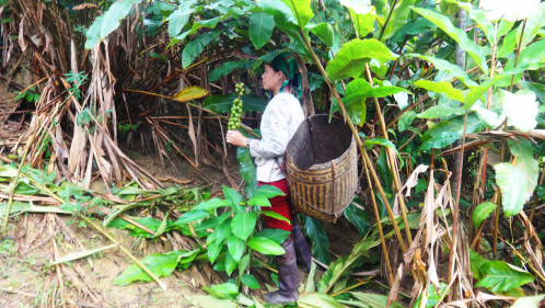Sustainable management of Bon Bo trees for livelihoods security in Nghe An, Vietnam
