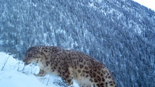 Protecting snow leopards and the ecosystems they depend on