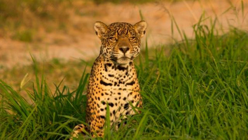 Conserving Big Cats: Communities protecting the majestic jaguars in Bolivia