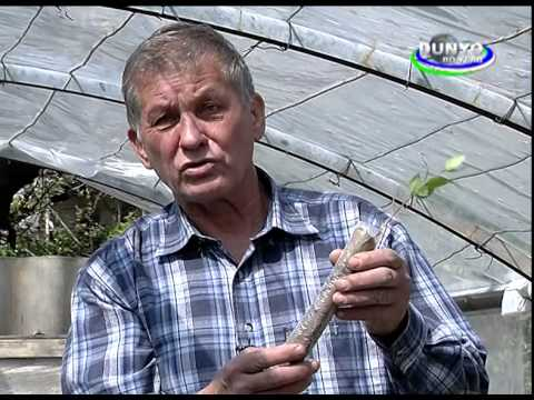Technology on Pistachio tree seedlings (part 1) (in Russian language)