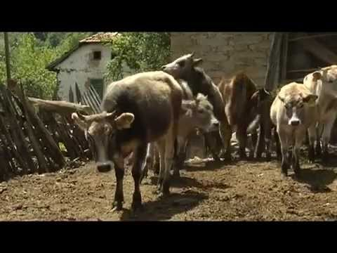 GEF SGP Macedonia project, Busha Cattle, endangered autochthonic specie
